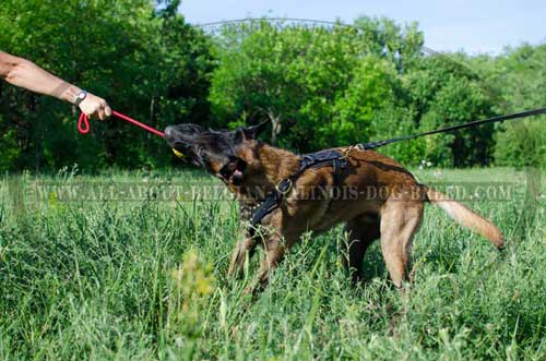 Training Leather Belgian Malinois Harness with D-Ring for Lead Attachment