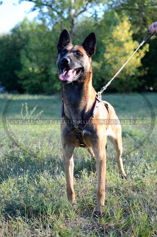 Easy Adjustable Leather Dog Harness for Belgian Malinois Walking