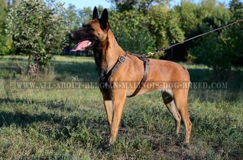 Leather Dog Harness for Belgian Malinois Tracking with D-Ring for Leash Attachment