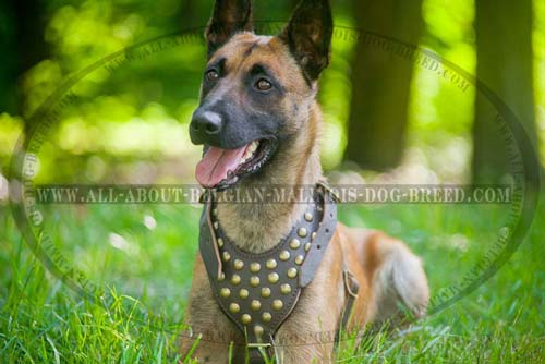 Leather Belgian Malinois Harness for Walking your Dog in Style