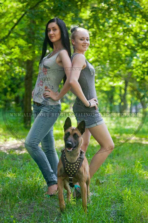Fashion Design Leather Malinois Harness Adorned with Goldish Brass Studs