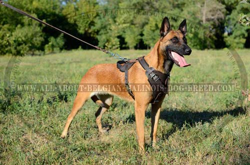 Training Leather Belgian Malinois Harness with D-Ring for Quick Lead Attachment