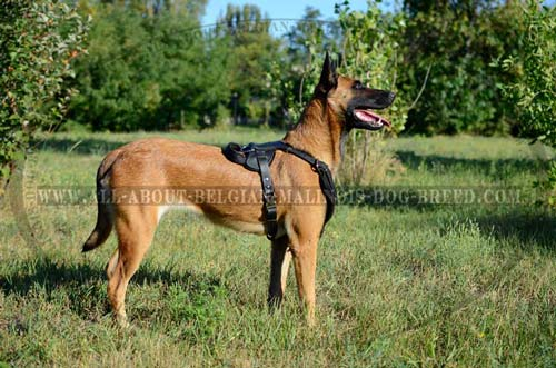 Padded Leather Belgian Malinois Harness for Attack/Protection Training