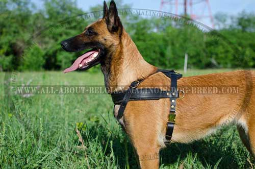 Leather Belgian Malinois Harness with Quick Release Buckle for Easy Putting on