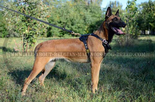 Walking Leather Dog Harness with Reliable Brass D-Ring for Lead Attachment