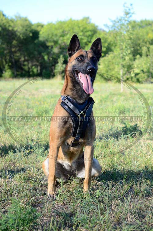 Super Fancy Leather Belgian Malinois Harness For Walking