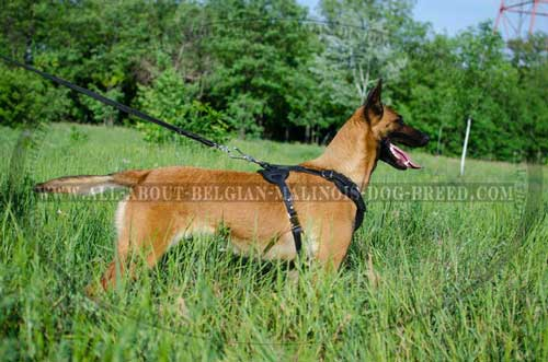 Leather Belgian Malinois Harness with Nickel D-Ring for Everyday Walking on a Leash