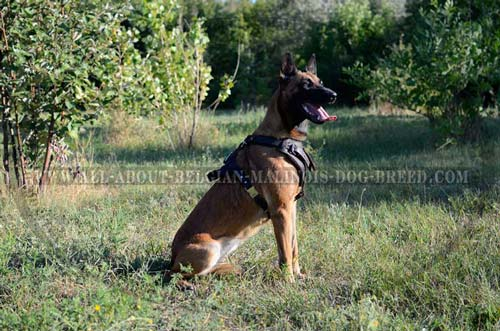Quality Leather Belgian Malinois Harness for Walking and Training
