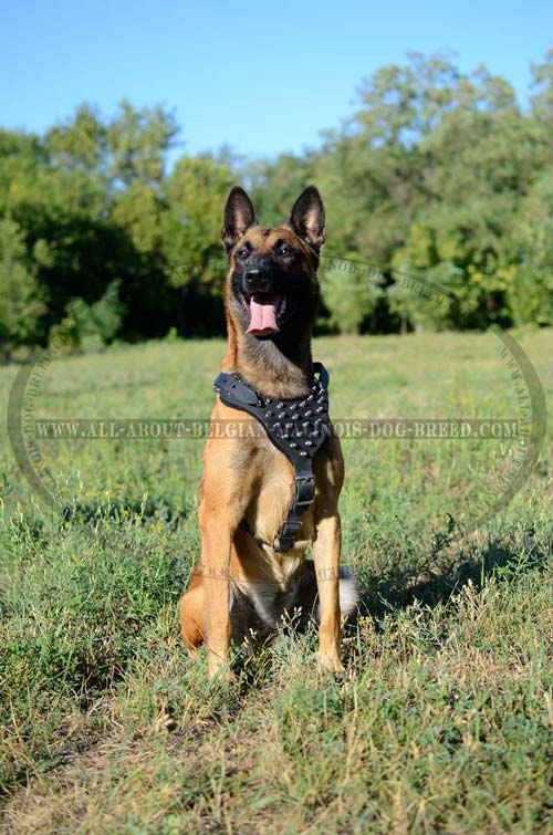 Leather Belgian Malinois Harness Decorated with Nickel Plated Spikes