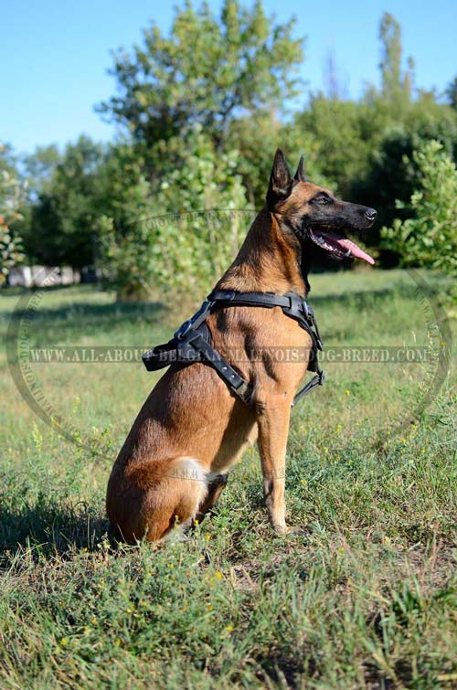 Unique Belgian Malinois Dog Breed Harness For Training and Pulling Control