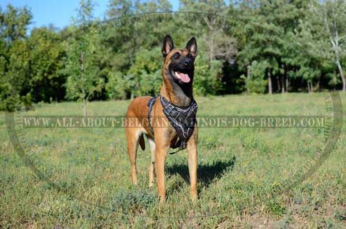 Everyday Training Belgian Malinois Dog Harness For Stylish Owners