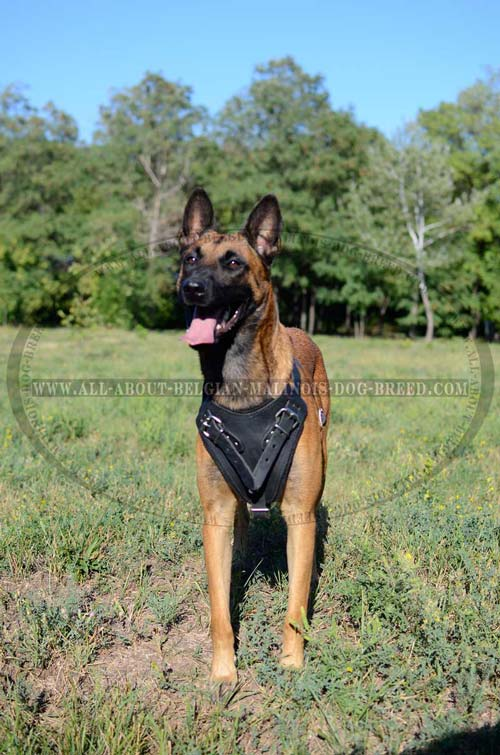 Gorgeous Leather Belgian Malinois Extreme Pulling Dog Harness