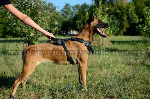 Belgian Malinois Top Popular Leather Dog Harness for Training