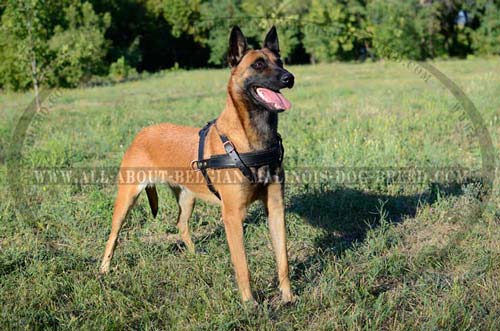 Leather Malinois Harness with Two Side D-Rings for Attachment of Pulling Cargo