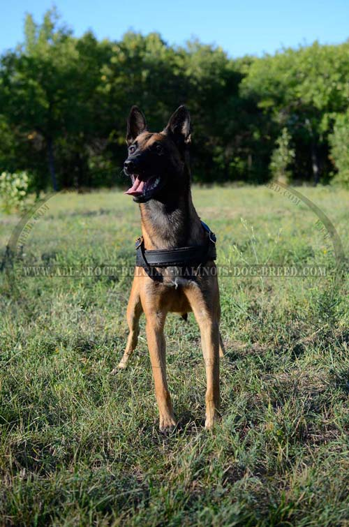 Soft Felt Padded Leather Malinois Harness for Safe and Comfy Walking