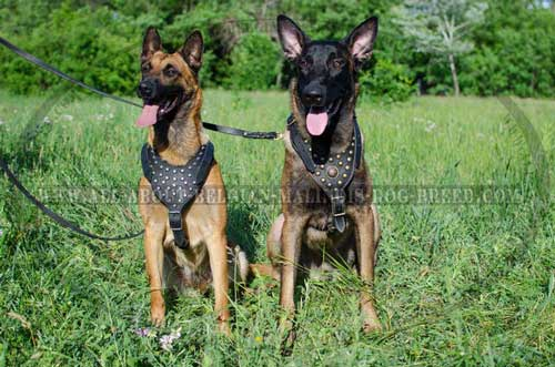 Studded Leather Belgian Malinois Harness for Daily Walking and Training