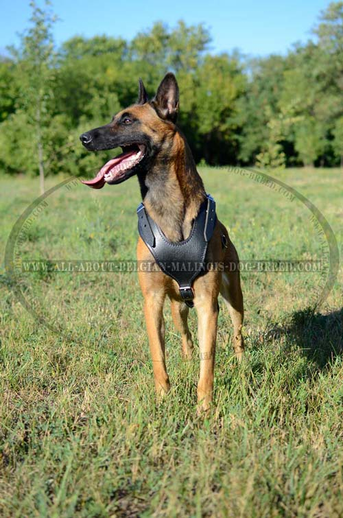 Leather Belgian Malinois Harness with Padded Y-Shaped Chest Plate for Comfy Walks