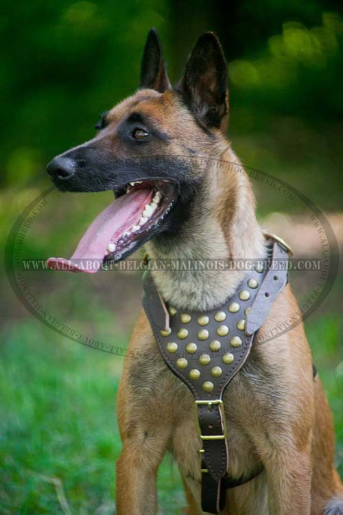 Fancy Leather Malinois Harness Decorated with Brass Half Ball Studs