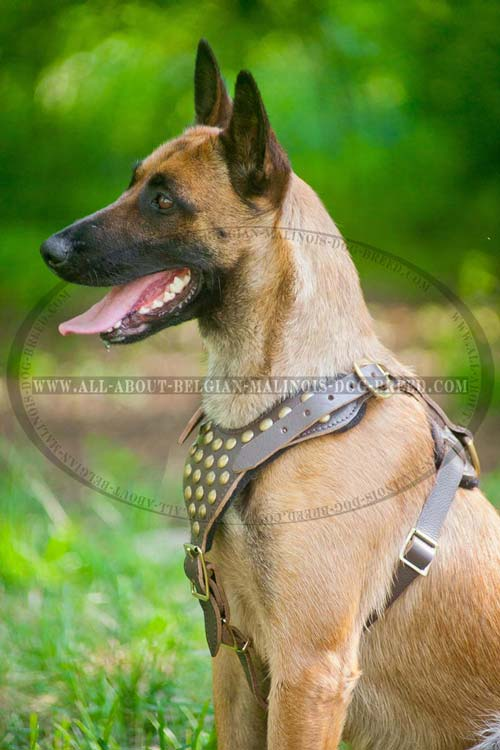 Superb Leather Malinois Harness with Golden Brass Studs and Fittings