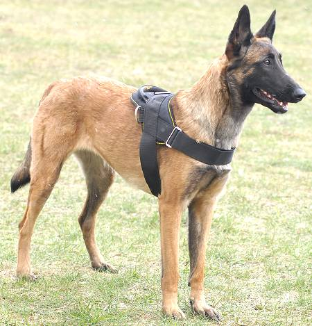All Weather Nylon Belgian Malinois Harness for Tracking and Pulling