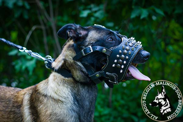 Belgian Malinois leather muzzle of high quality studded for daily activity