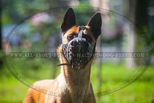 Belgian Malinois Leather Muzzle Unusual Realistic Image  Colored