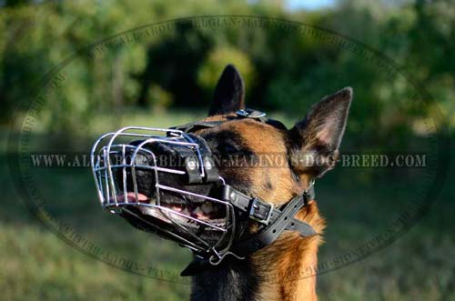 Walking and Training Belgian Malinois Wire Dog Muzzle