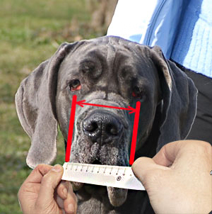 Measure muzzle width of your Belgian Malinois