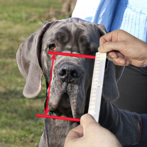 How to measure your Malinois dog muzzle height